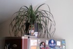 Ponytail Palm ala fridge