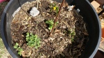 A mum survived, along with a Daisy Miller and what looks like a pansy seedling I rescued from a pile of dead leaves.