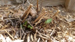The echinacea is starting to peek out too.